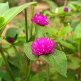 Ιώδες λουλούδι Στοκ Εικόνα