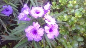 Ιώδες λουλούδι Στοκ φωτογραφίες με δικαίωμα ελεύθερης χρήσης