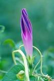 Ιώδες λουλούδι bindweed Στοκ Φωτογραφία