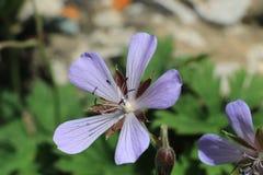 Ιώδες λουλούδι eith πέντε πέταλα στοκ φωτογραφία με δικαίωμα ελεύθερης χρήσης