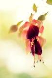 Ιώδες φούξια λουλούδι Στοκ εικόνα με δικαίωμα ελεύθερης χρήσης