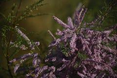 Ιώδες χρώμα ερήμων Στοκ φωτογραφία με δικαίωμα ελεύθερης χρήσης