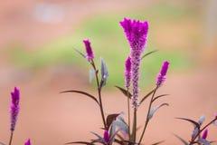 Ιώδες χρώμα λουλουδιών Cockscomb Στοκ φωτογραφίες με δικαίωμα ελεύθερης χρήσης