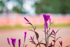 Ιώδες χρώμα λουλουδιών Cockscomb Στοκ Εικόνες