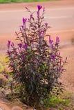 Ιώδες χρώμα λουλουδιών Cockscomb Στοκ φωτογραφία με δικαίωμα ελεύθερης χρήσης