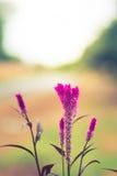 Ιώδες χρώμα λουλουδιών Cockscomb Στοκ Φωτογραφίες