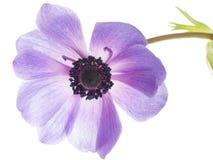 Ιώδες anemone λουλουδιών Στοκ Εικόνα