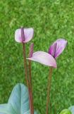 Ιώδες Anthurium λουλούδι στο βοτανικό κήπο Στοκ φωτογραφίες με δικαίωμα ελεύθερης χρήσης
