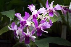 ιώδες orchid Στοκ Εικόνες