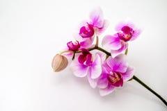 Ιώδες orchid Στοκ Εικόνα