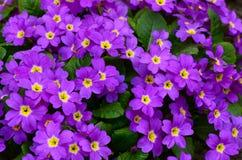 Ιώδες primrose λουλουδιών ένα υπόβαθρο Στοκ Φωτογραφία