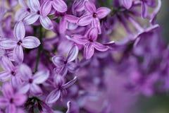 ιώδης άνοιξη λουλουδιών Στοκ εικόνες με δικαίωμα ελεύθερης χρήσης