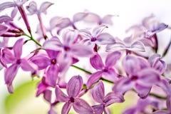 ιώδης άνοιξη λουλουδιών Στοκ Φωτογραφία