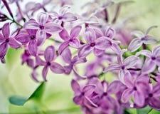 ιώδης άνοιξη λουλουδιών Στοκ φωτογραφία με δικαίωμα ελεύθερης χρήσης