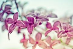 ιώδης άνοιξη λουλουδιών Στοκ Φωτογραφίες