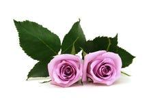 Ιώδης αυξήθηκε λουλούδια Στοκ Φωτογραφίες