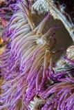 Ιώδης λεπτομέρεια πλοκαμιών anemone Στοκ Εικόνες