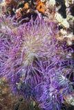 Ιώδης λεπτομέρεια πλοκαμιών anemone Στοκ εικόνες με δικαίωμα ελεύθερης χρήσης