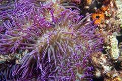 Ιώδης λεπτομέρεια πλοκαμιών anemone Στοκ Φωτογραφίες