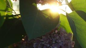 Ιώδης θάμνος με τα λουλούδια και τα φύλλα απόθεμα βίντεο