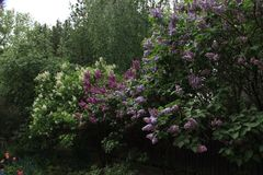 Ιώδης θάμνος Στοκ φωτογραφία με δικαίωμα ελεύθερης χρήσης