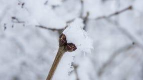 Ιώδης κλάδος με τους οφθαλμούς στον παγετό Στοκ Φωτογραφία