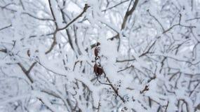 Ιώδης κλάδος με τους σπόρους στον παγετό Στοκ εικόνες με δικαίωμα ελεύθερης χρήσης