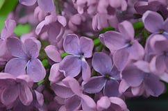 Ιώδης μακρο σύνθεση λουλουδιών Στοκ εικόνες με δικαίωμα ελεύθερης χρήσης