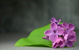 Ιώδης μακρο σύνθεση λουλουδιών Στοκ Εικόνα
