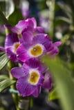 Ιώδης ορχιδέα αφρίσματος Nobile Dendrobium Στοκ φωτογραφία με δικαίωμα ελεύθερης χρήσης