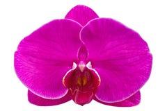Ιώδης ορχιδέα λουλουδιών Στοκ Εικόνες