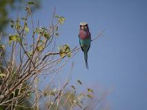 Ιώδης-ο κύλινδρος στο εθνικό πάρκο Chobe Στοκ φωτογραφία με δικαίωμα ελεύθερης χρήσης