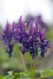 Ιώδης στενός επάνω λουλουδιών Στοκ φωτογραφία με δικαίωμα ελεύθερης χρήσης