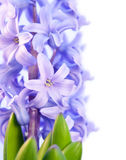 Ιώδης υάκινθος λουλουδιών που απομονώνεται Στοκ φωτογραφία με δικαίωμα ελεύθερης χρήσης