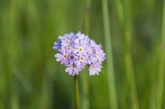 Ιώδης χλόη υποβάθρου λουλουδιών Στοκ φωτογραφία με δικαίωμα ελεύθερης χρήσης