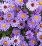 Ιώδης όμορφος αστέρας που ανθίζει στον κήπο Στοκ εικόνα με δικαίωμα ελεύθερης χρήσης