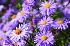 Ιώδης όμορφος αστέρας που ανθίζει στον κήπο Στοκ φωτογραφία με δικαίωμα ελεύθερης χρήσης