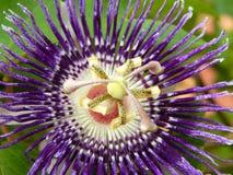 Ιώδης Passiflora κινηματογράφηση σε πρώτο πλάνο λουλουδιών πάθους Στοκ Φωτογραφία