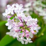 Ιώδη άνθη στον υπαίθριο στοκ φωτογραφία