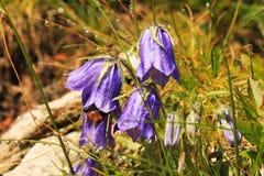 Ιώδη ανθίζοντας λουλούδια βουνών στοκ φωτογραφία με δικαίωμα ελεύθερης χρήσης