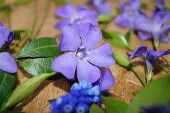 Ιώδη μπλε λουλούδια άνοιξη και πράσινο υπόβαθρο φύλλων Στοκ Εικόνες