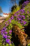 Ιώδη λουλούδια άνοιξη ακρών του δρόμου Στοκ Εικόνες