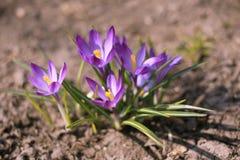 Ιώδη λουλούδια άνοιξη που αυξάνονται από τη γη - κινηματογράφηση σε πρώτο πλάνο Στοκ Φωτογραφία