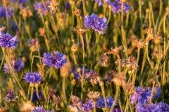 Ιώδη λουλούδια με τις μέλισσες Στοκ Φωτογραφία