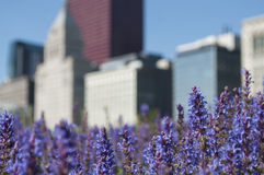 Ιώδη λουλούδια με τον ορίζοντα του Σικάγου Στοκ Εικόνα
