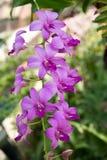Ιώδη λουλούδια ορχιδεών της Ταϊλάνδης το πρωί Στοκ εικόνες με δικαίωμα ελεύθερης χρήσης