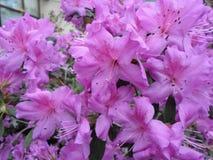 Ιώδη λουλούδια, πορφυρά λουλούδια ανθίζοντας δέντρο άνοιξη Αυξήθηκε λουλούδια, ρόδινα λουλούδια, ρόδινες αζαλέες Στοκ εικόνες με δικαίωμα ελεύθερης χρήσης