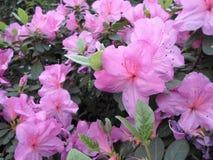 Ιώδη λουλούδια, πορφυρά λουλούδια ανθίζοντας δέντρο άνοιξη Αυξήθηκε λουλούδια, ρόδινα λουλούδια, ρόδινες αζαλέες Στοκ Εικόνα