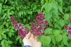 Ιώδη λουλούδια στα χέρια γυναικών Ιώδες άνθισμα Ιώδης άνθιση του Μπους Στοκ φωτογραφία με δικαίωμα ελεύθερης χρήσης