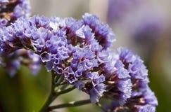 Ιώδη λουλούδια στην άνθιση Στοκ Φωτογραφία
